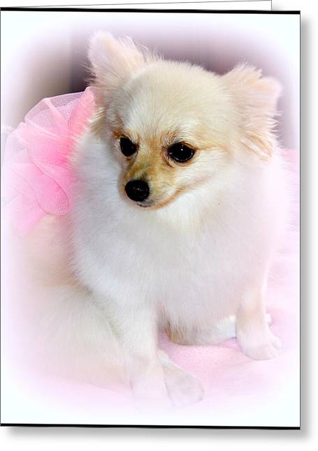 Pampered Pomeranian  Greeting Card by Kathy  White
