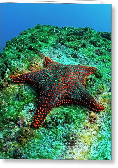 Starfish In Water Greeting Cards - Panamic Cushion Star Greeting Card by Sami Sarkis