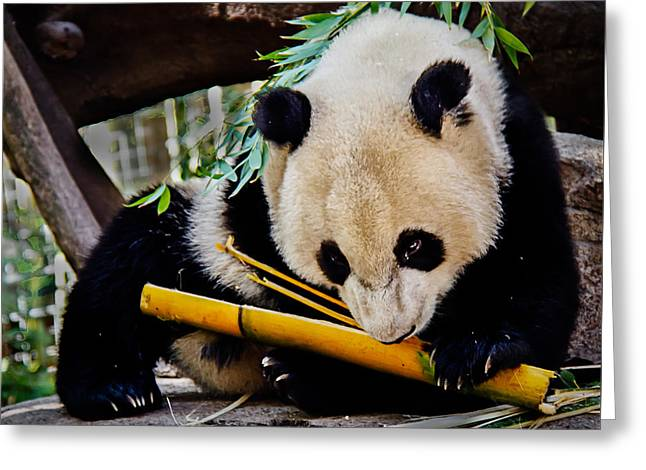 Panda Bear Greeting Card by Robert Bales