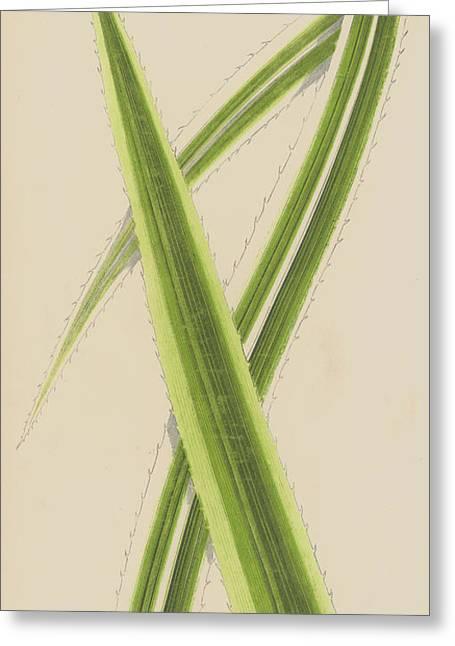 Pandanus Javanicus Variegatus Greeting Card by English School