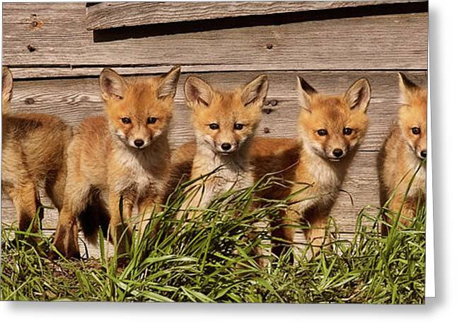 Panoramic Fox Kits Greeting Card by Mark Duffy