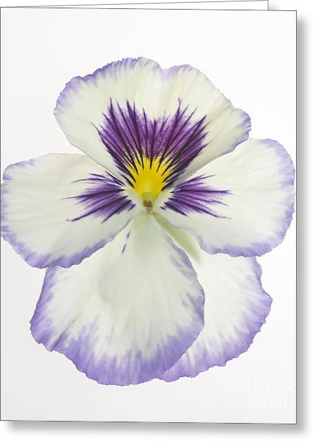 Pansy 2 Greeting Card by Tony Cordoza