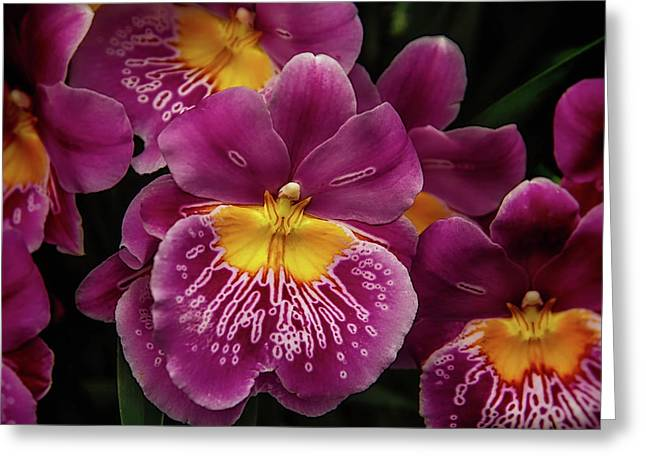 Pansy Orchid Greeting Card by Garry Gay
