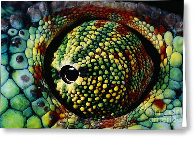 Cold Blooded Greeting Cards - Panther Chameleon Eye Greeting Card by Daniel Heuclin and Photo Researchers