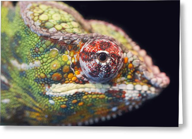 Greeting Card featuring the photograph Panther Chameleon  by Nathan Rupert