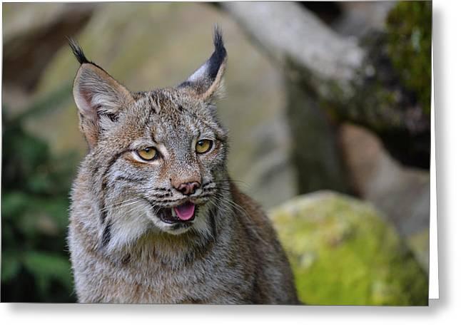 Panting Lynx Greeting Card