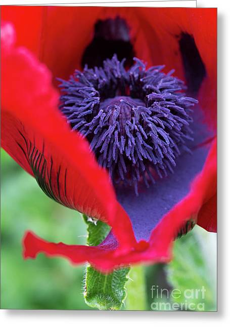 Papaver Orientale Beauty Of Livermere Greeting Card