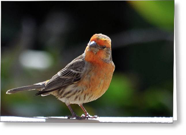 House Finch Greeting Cards - Papaya Bird Greeting Card by Dan McManus