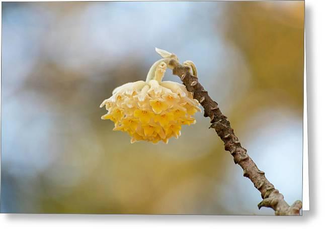 Paperbush Flower Greeting Card