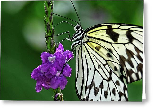 Paperkite Butterfly Closeup Greeting Card