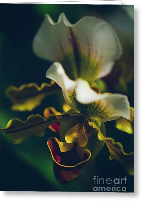 Greeting Card featuring the photograph Paphiopedilum Villosum Orchid Lady Slipper by Sharon Mau