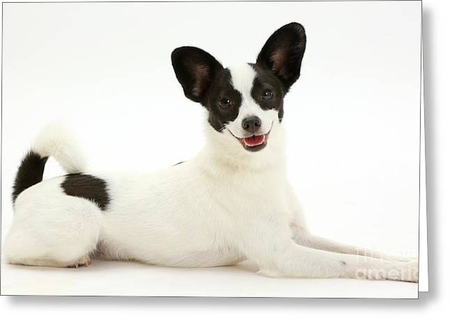 Papillon X Jack Russell Terrier Dog Greeting Card by Mark Taylor