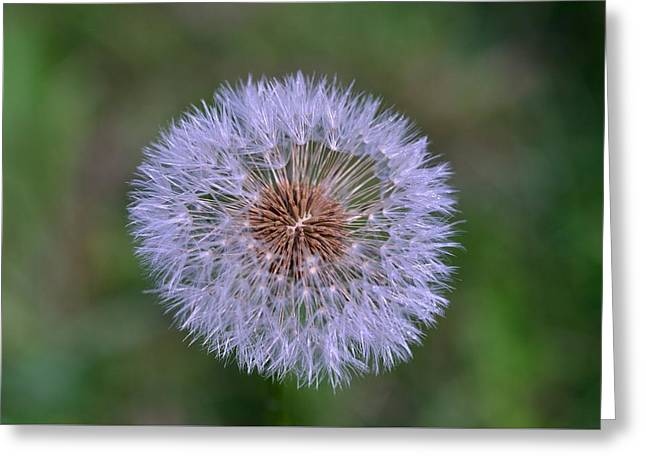Parachute Club- Dandelion Gone To Seed Greeting Card by David Porteus