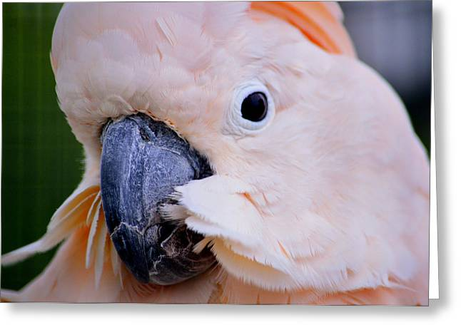 Pink Moluccan Cockatoo Parrot Greeting Card by Srinivasan Venkatarajan