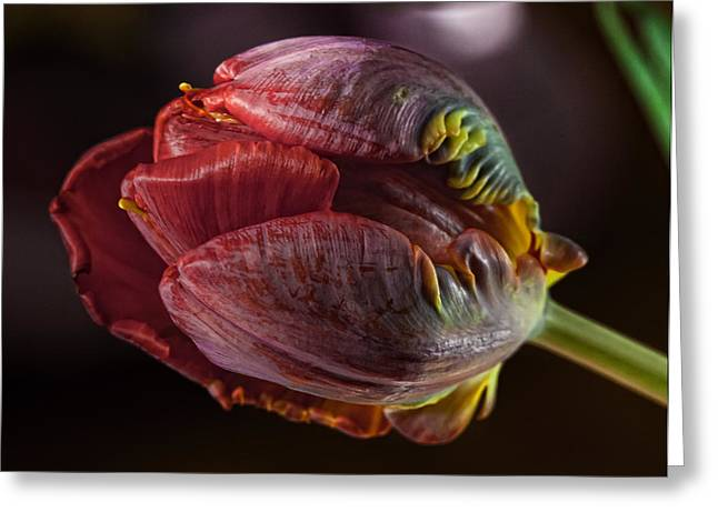Parrot Tulip 4 Greeting Card by Robert Ullmann