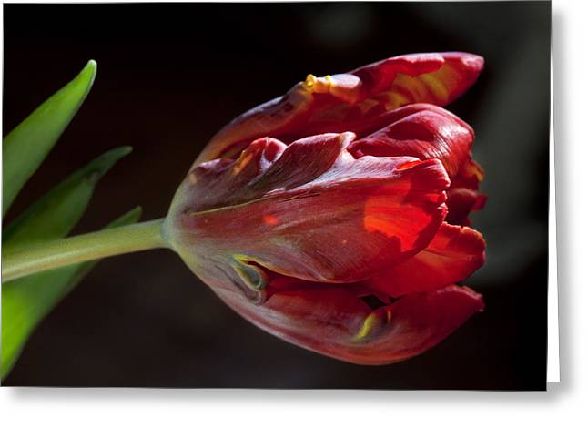 Parrot Tulip 7 Greeting Card by Robert Ullmann