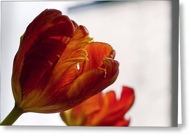Parrot Tulips 18 Greeting Card by Robert Ullmann