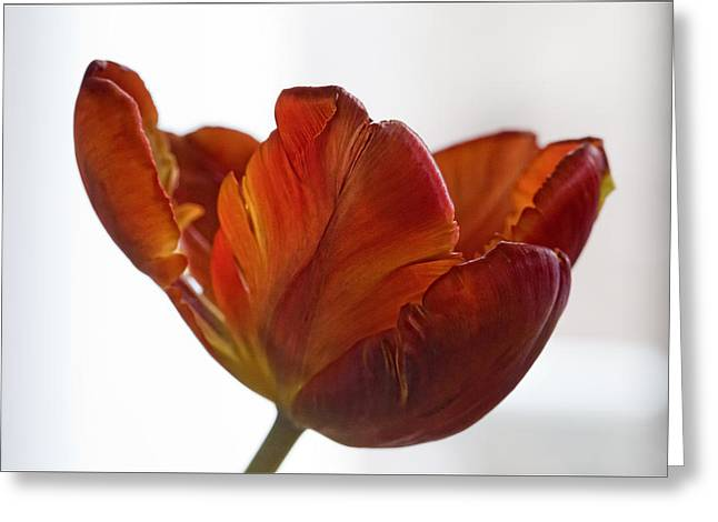 Parrot Tulips 20 Greeting Card by Robert Ullmann