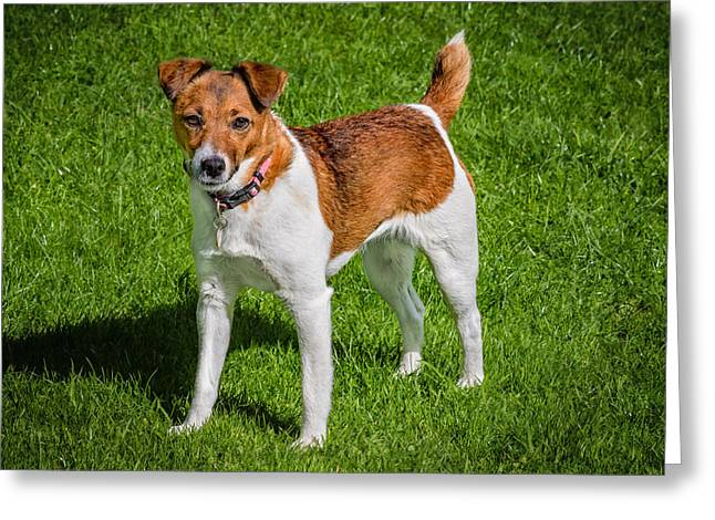 Parson Jack Russell Greeting Card