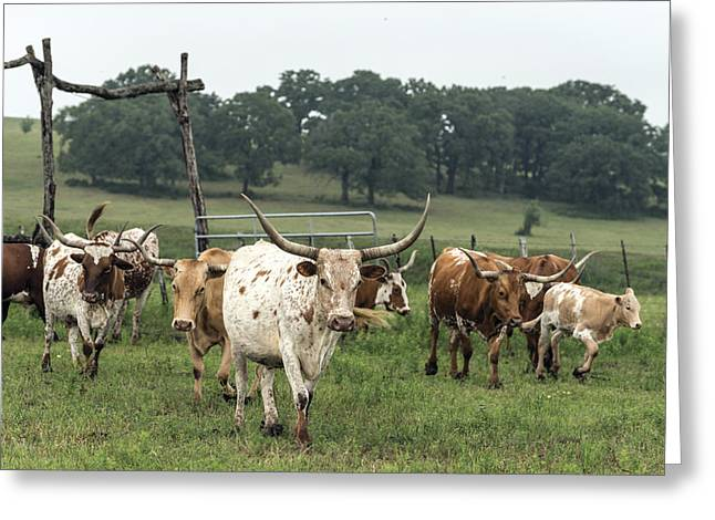 Part Of The 200-head Longhorn Herd At The Lonesome Pine Ranch Greeting Card