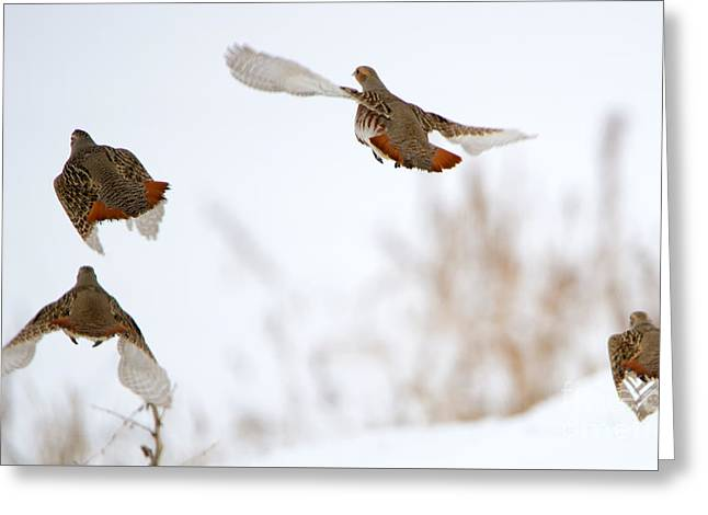 Partridge Flight Greeting Card by Mike Dawson