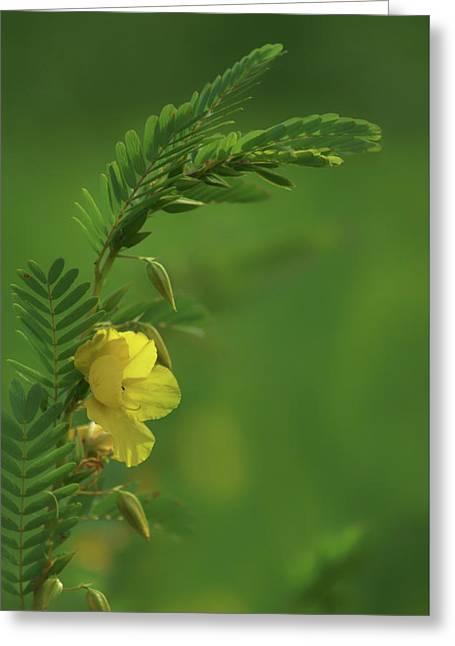 Partridge Pea - 2 - Wildflower Greeting Card by Nikolyn McDonald
