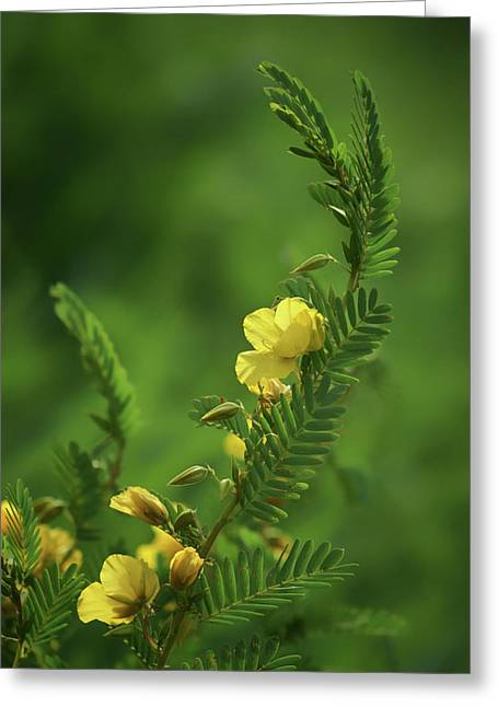 Partridge Pea - Wildflower Greeting Card by Nikolyn McDonald