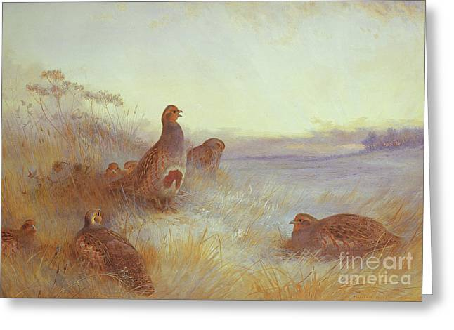 Partridges In Early Morning Greeting Card by Archibald Thorburn