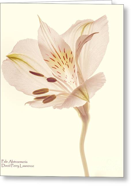 Pasae Alstroemeria By Flower Photographer David Perry Lawrence Greeting Card