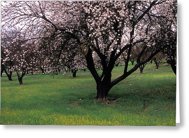 Orchards Prints Greeting Cards - Paso Robles Orchard Greeting Card by Kathy Yates