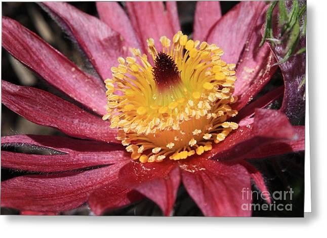 Pasque Flower Macro Greeting Card by Carol Groenen
