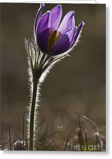 Pasque Flower Greeting Card by Per-Olov Eriksson