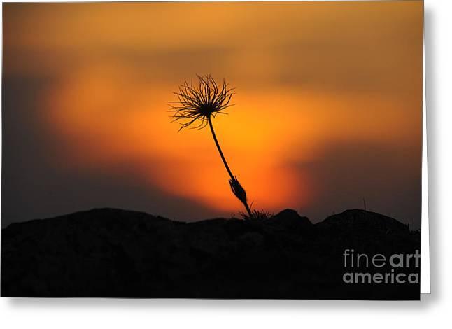 Pasqueflower At Sunset Greeting Card by David & Micha Sheldon