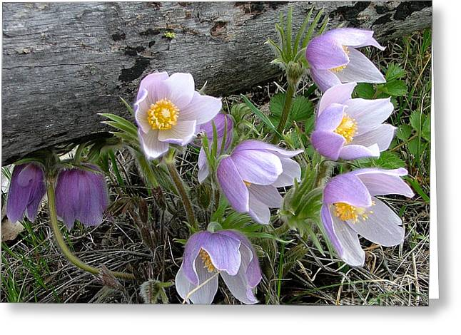 Pasqueflower Bouquet Greeting Card