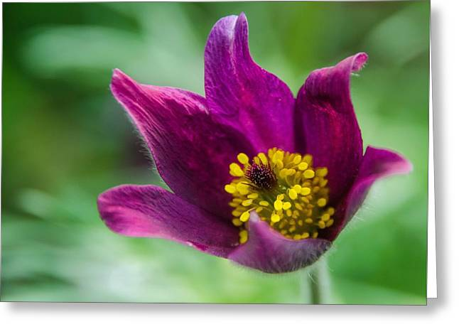 Pasqueflower  Greeting Card by Kathleen Alhaug