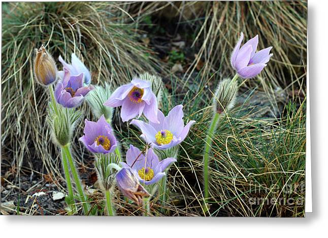 Greeting Card featuring the photograph Pasqueflower by Michal Boubin