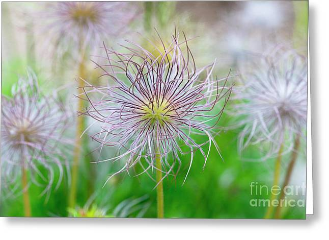 Pasqueflower Seed Heads Greeting Card by Tim Gainey