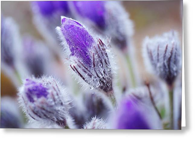 Pasqueflowers With Rain Drops Greeting Card