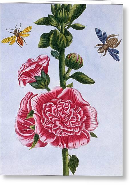 Passerose Hollyhock Greeting Card by Pierre-Joseph Buchoz
