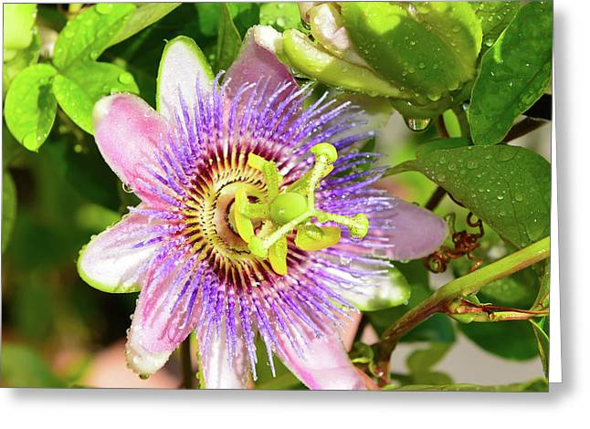 Passiflora Greeting Card by Olga Hamilton