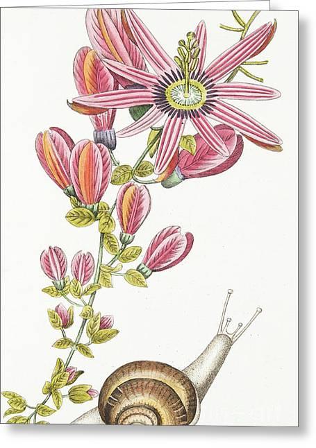 Passiflora Princeps Greeting Card