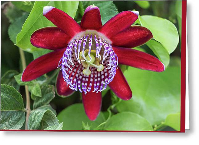 Passiflora Ruby Glow. Passion Flower Greeting Card