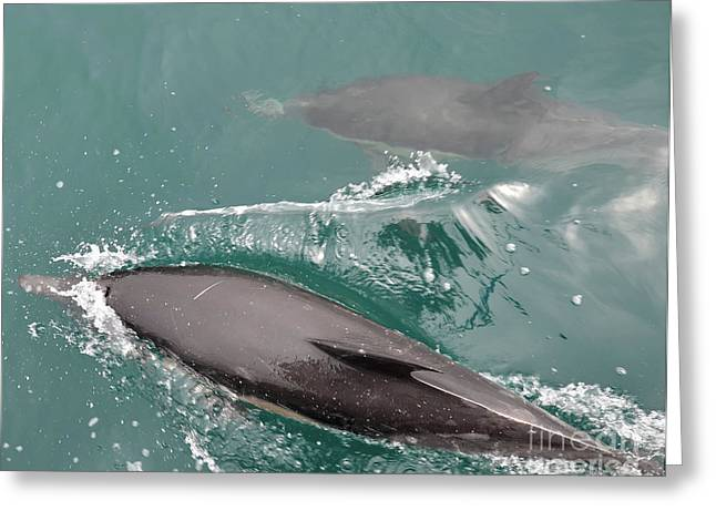 Passing Dolphins Greeting Card by Timothy OLeary