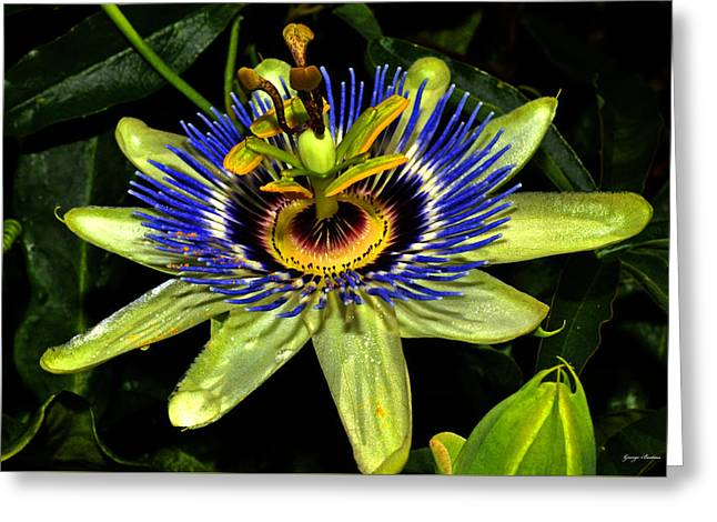 Passion Flower 003 Greeting Card