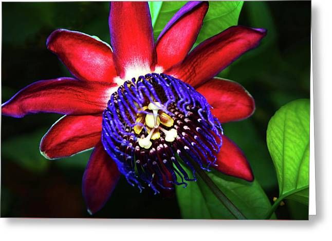 Greeting Card featuring the photograph Passion Flower by Anthony Jones