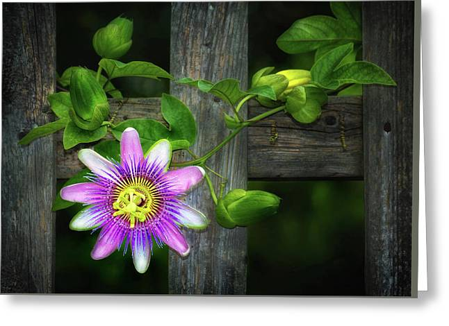 Passion Flower On The Fence Greeting Card