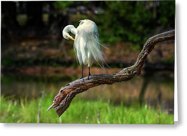 Passionate About Preening Greeting Card by Donnie Smith