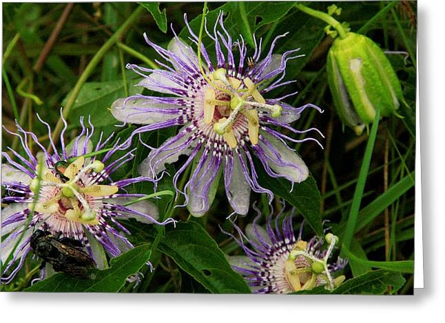 Passionflower Greeting Cards - Passionflower and companions Greeting Card by Karen Lawson