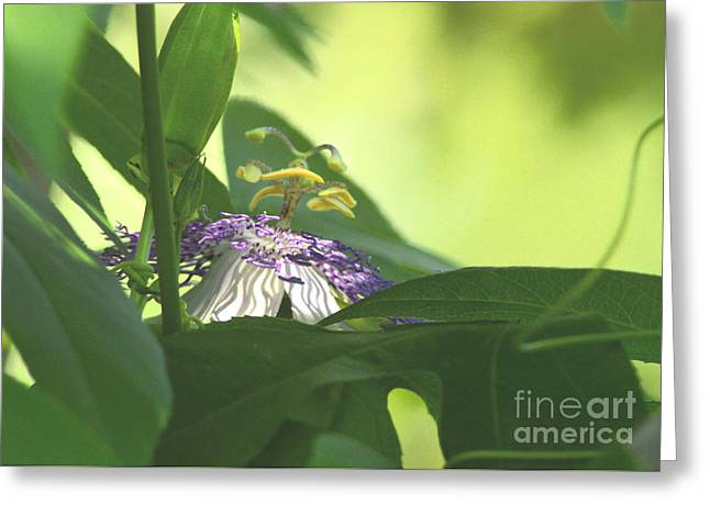 Passionflower Blooming Greeting Card by Robyn King