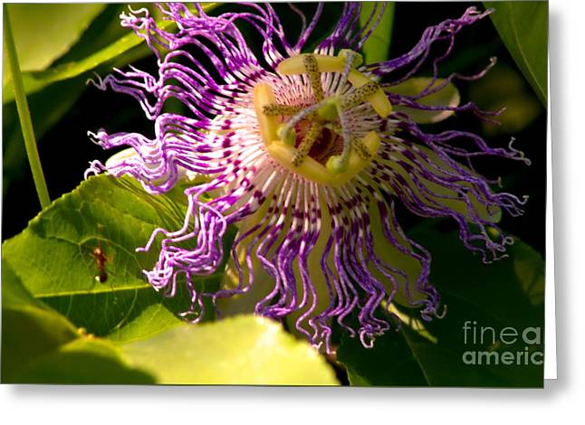 Passionflower Greeting Card by Robyn King